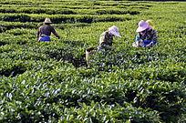 海南白沙绿茶茶场的采茶茶农特写图