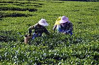 海南白沙绿茶茶场的采茶茶农特写图片
