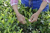 海南白沙绿茶茶场的采茶茶农图片