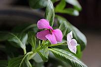 花丛中采蜜的小蜜蜂