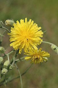 路边的黄色小花
