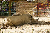 休息的犀牛