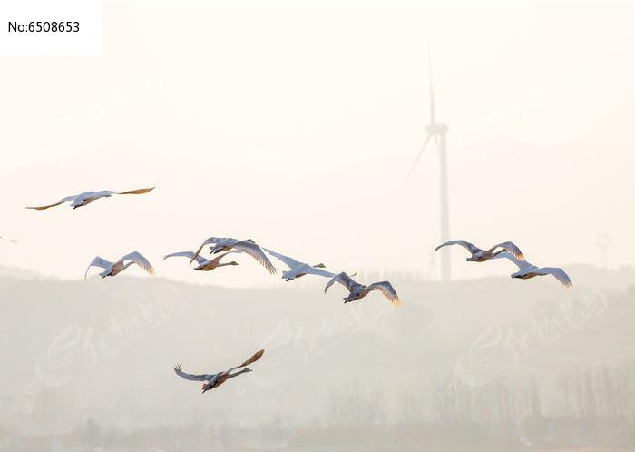 夕阳中飞翔的天鹅高清图片下载 编号6508653 红动网图片