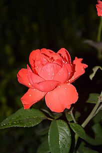 一朵红色四季花