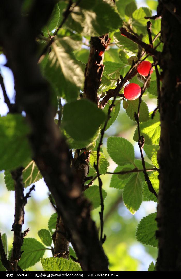 樱桃树两颗樱桃高清图片下载 编号6520423 红动网图片