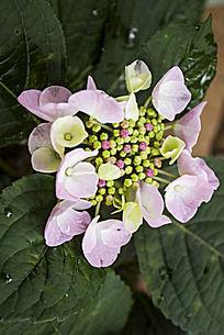 淡紫色的绣球花