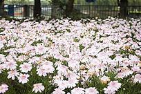 粉色雏菊花海