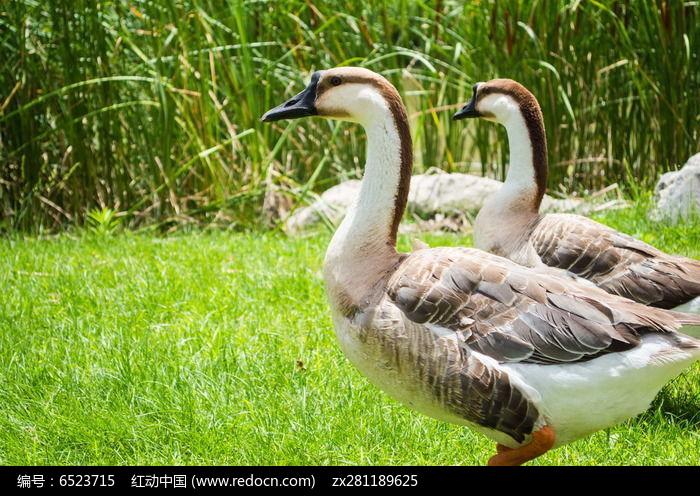 阳光下的鸭子图片,高清大图_园林景观素材