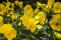一片黄色的三色堇花海