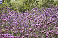 紫色马鞭草花海