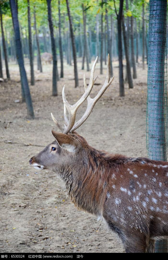 动物园树林中的一只梅花鹿
