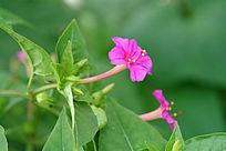红色的紫茉莉花朵
