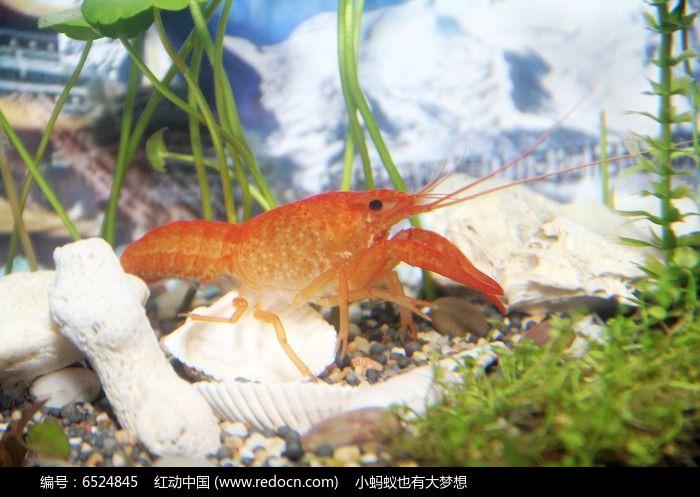 龙虾图片,高清大图_水中动物素材