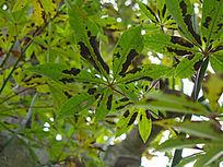 密集的青皮木棉树叶