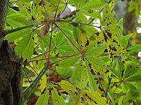 逆光的青皮木棉树叶