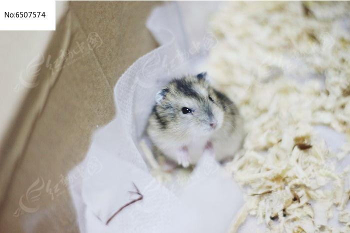 小小的仓鼠图片,高清大图_陆地动物素材
