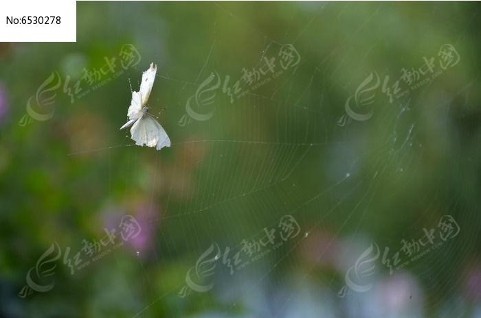 原创摄影图 动物植物 昆虫世界 一只被蜘蛛网困住的白蝴蝶在奋力挣扎
