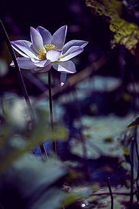 单只莲花花瓣
