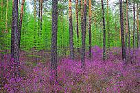 杜鹃花海中的松林