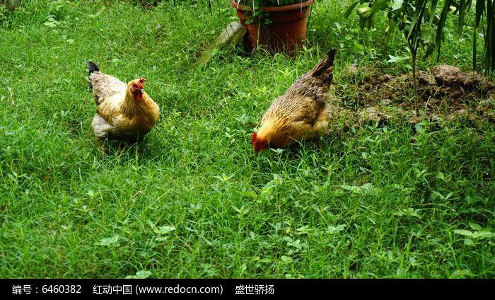 原创摄影图 动物植物 家禽家畜 放养土鸡