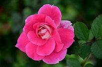 一朵盛开的玫红色月季花近拍照