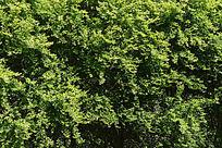 高清绿叶底纹素材
