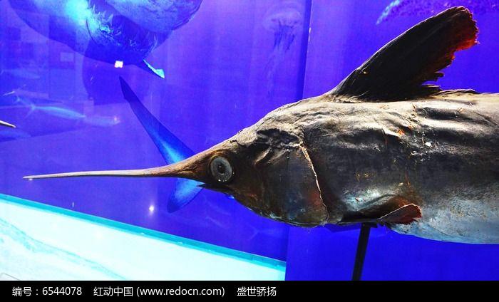 海洋箭鱼标本图片,高清大图_水中动物素材