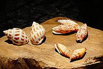 红钻贝壳螺