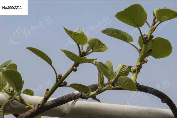 原创摄影图 动物植物 农作物 猕猴桃果苗