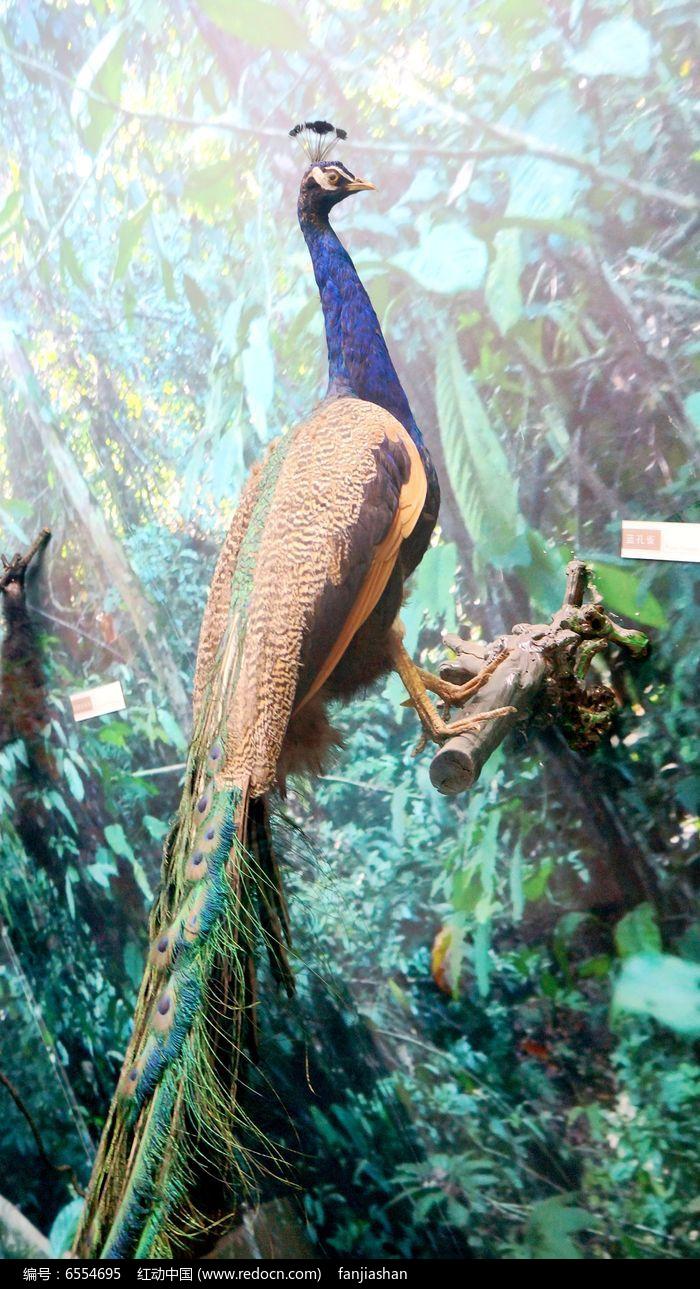 蓝孔雀标本图片,高清大图_空中动物素材