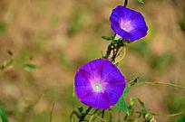 两朵盛开的紫色喇叭花
