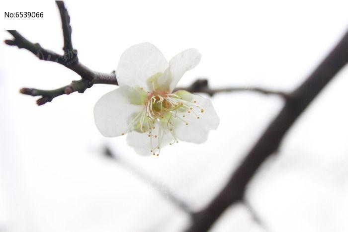 原创摄影图 动物植物 花卉花草 梅花