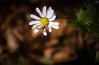 山里的野菊花和采蜜的小蜜蜂