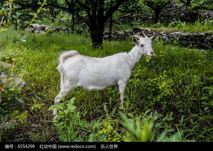 原创摄影图 动物植物 家禽家畜 山林里的一只羊
