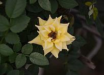 一朵盛开的淡黄色月季花
