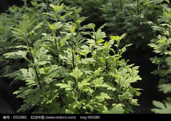 原创摄影图 动物植物 花卉花草 多叶植物