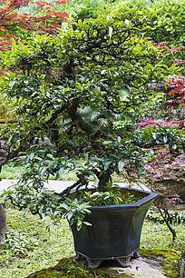 盆景 柿树