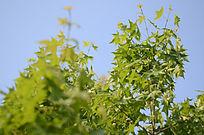 春天的法国梧桐树嫩叶美图