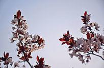 春天来海棠花开