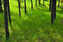 初夏阳光下的小树林和绿葱葱的草地