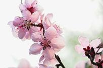 粉红色桃花花枝唯美图