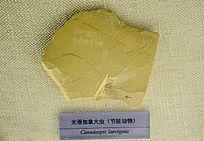 光滑加拿大虫(节肢动物)化石