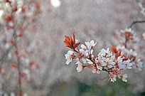 海棠花树枝唯美大气照