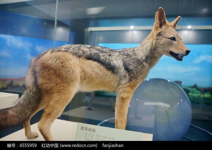 黑背狐狼标本图片,高清大图_陆地动物素材