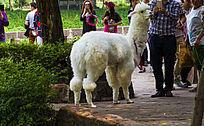 洁白的羊驼