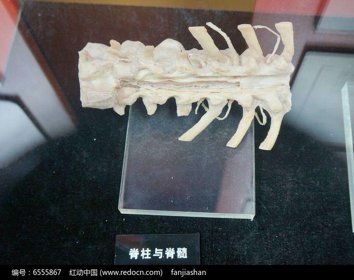 脊椎与脊髓结构图