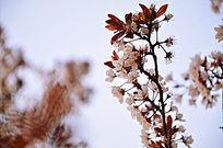 蓝天下的海棠花树枝争相开放