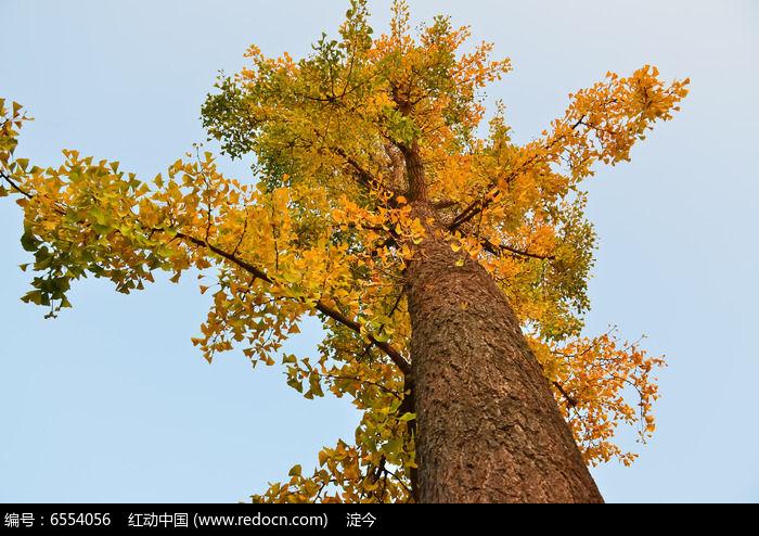 秋天高大的银杏树叶子黄了