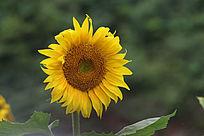 向日葵花朵特写