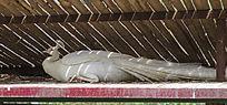 休闲的白孔雀
